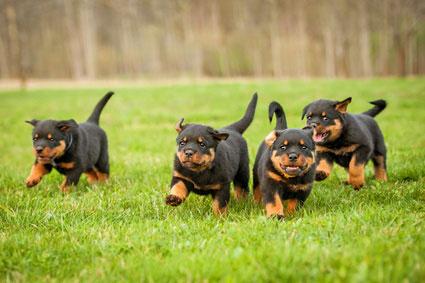 Hundefutter für Welpen im Test