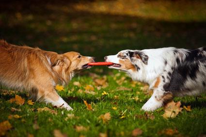 Zwei Hunde beim spielen - für die nötige Kraft braucht es das richtige Hundefutter