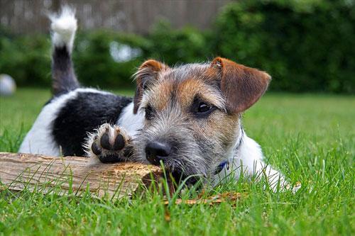 hund-mit--stock