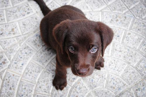 ein Labrador Welpe benötigt eine andere Fütterungsweise