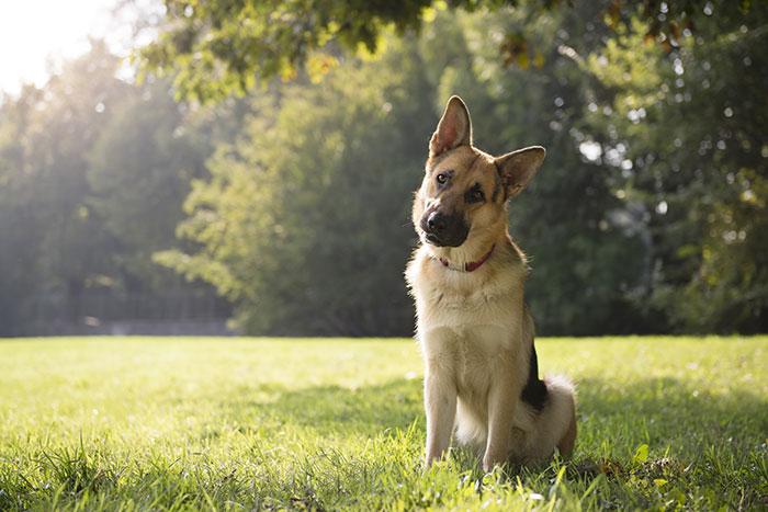 Schäferhund mit Fragendem Blick