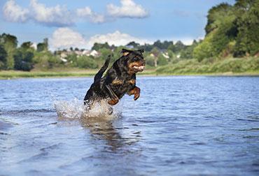 Hund springt im Wasser