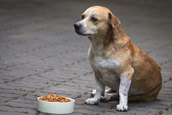 Fettleibiger Hund vor Trockenfutter Napf