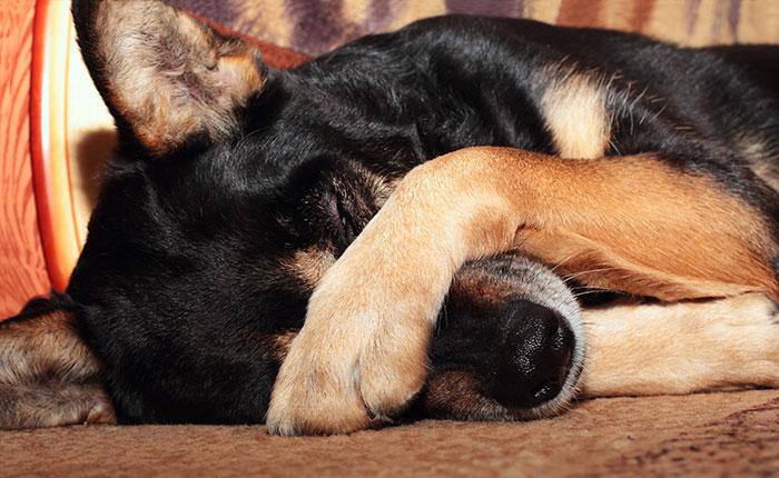 Hund legt dir Pfote vor die Augen