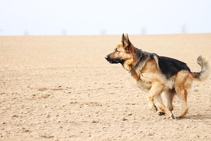 Schäferhund rennt auf Erde