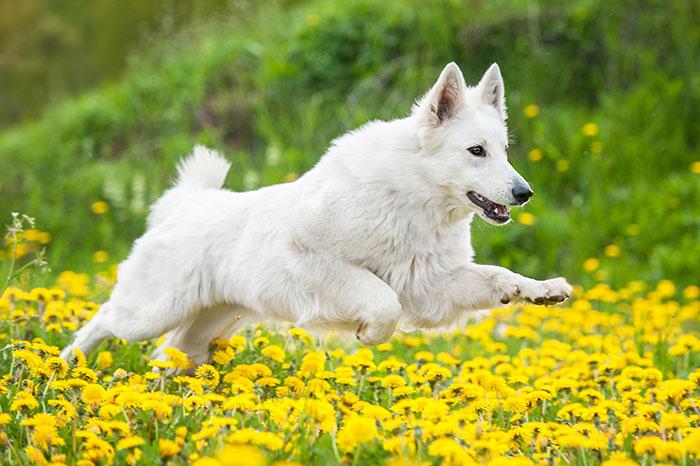 Hund rennt durch Blumenwiese