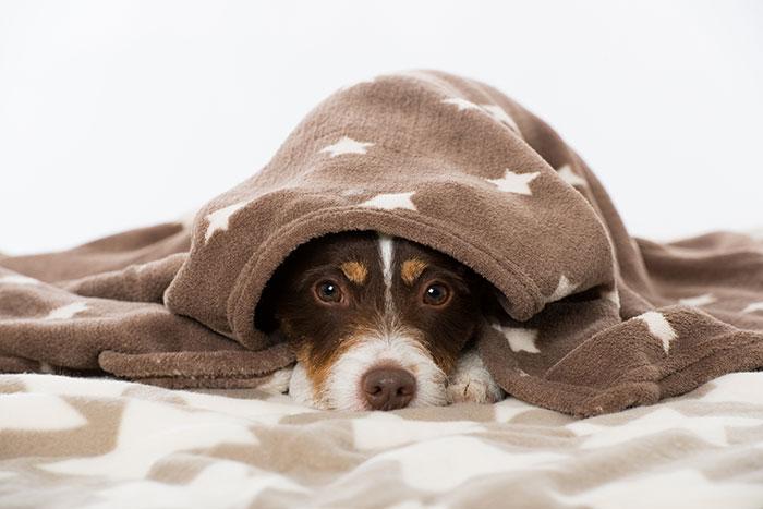 Hund mit Leishmaniose unter einer Decke