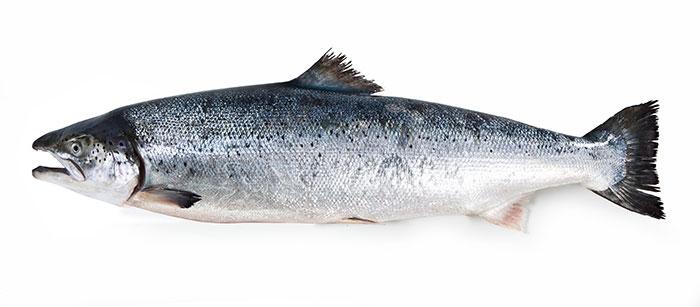 Lachs als ganzer Fisch