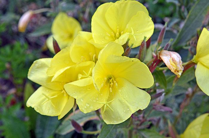Nachtkerzen Blume