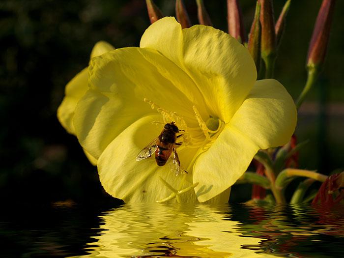 Biene an einer Nachtkerzen Blüte
