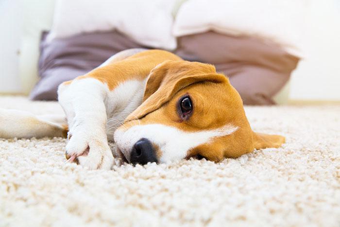 Beagle liegt auf dem Teppich
