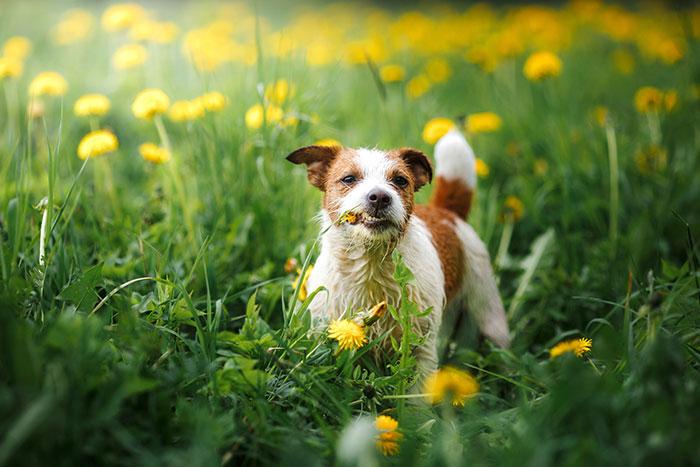 Terrier frisst eine Blume