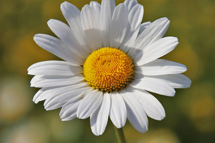 Eine Kamille Pflanze