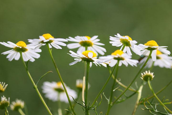 Kamille Blüten in der Wiese