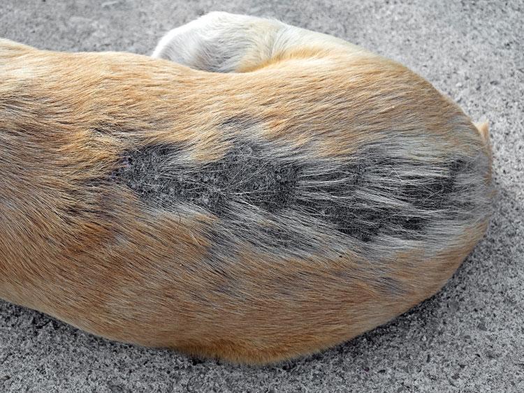 Hund mit kahlem Fell