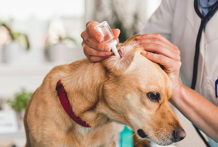 Milben Behandlung im Ohr