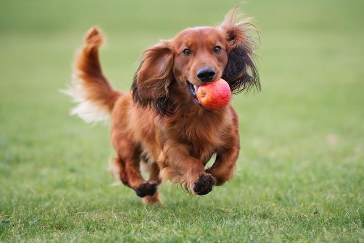 Allergie beim Hund ausschließen durch Ausschlussdiät