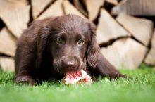 BARF als Hundeernährung