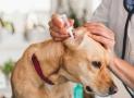 Ohrenentzündung beim Hund