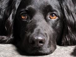 Schilddrüsenerkrankungen bei Hunden