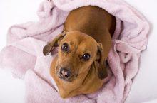 Analdrüse beim Hund – Symptome, Ursachen, Behandlung