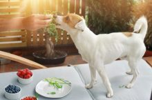 Vegetarisches Hundefutter – den Hund zum Vegetarier machen?