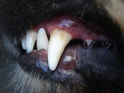 Zahnstein beim Hund – auch beim Barfen